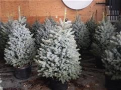 Blue Spruce Trees