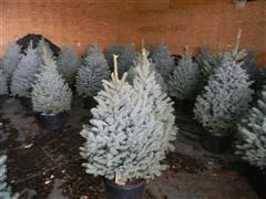 4'-5' Blue Spruce Trees