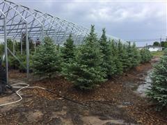 Colorado Blue Spruce Trees