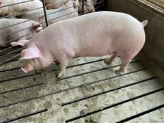 Market Ready Crossbred Hog,