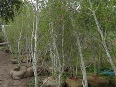 Min 15' Tall Aspen Trees
