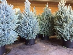 6'-7' Blue Spruce Trees