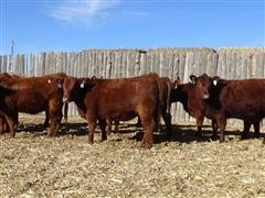 12 Red Angus Fall Bred Heifers Picture.JPG