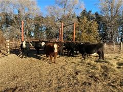 Angus-Hereford F1 Baldy 2nd Calf Heifers (BID Per HEAD)