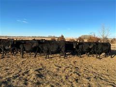 Commercial Angus 5th-9th Calving Cows (BID Per HEAD)