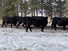 5th-8th Calving Cows (BID Per HEAD)