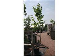 Sentry Linden Tree #7CT – 7'