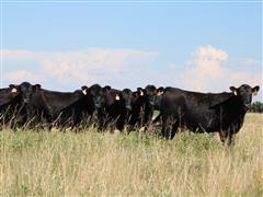 Angus Open Replacement Heifers (BID PER HEAD)