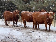 3rd - 7th Calving Red Baldy Calving Cows (BID Per HEAD)