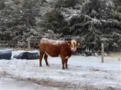 2nd & 3rd Red Baldy Calving Cows (BID Per HEAD)