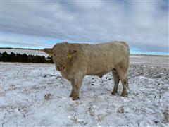 Charolais Bull 2710