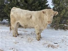 Charolais Bull 761