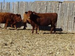 Red Angus Group B Srping Heifers.JPG