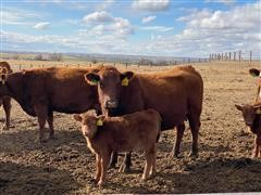 Commercial Red Angus Pairs 3-5 Yr Old (BID PER PAIR)