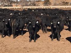 Commercial Blk Angus - Blk Baldy Cross 1st Calf Heifers (BID Per HEAD)