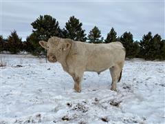 Charolais Bull 7022