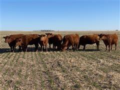 Red Angus Fall Bred 1st Calf Heifers (BID PER HEAD)
