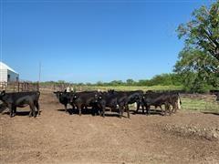 BLK Fall Bred Heifers (BID PER HEAD)