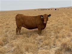 Red Angus 3-5 Yr Old Bred Cows (BID PER HEAD)