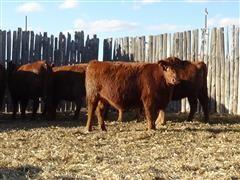 Red Angus Group C Spring Heifers.JPG