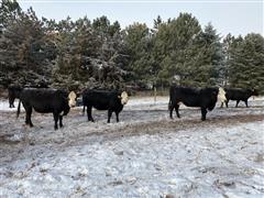 2nd-3rd Calving Cows (BID Per HEAD)